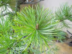 Vela de pino blanco japonés o pentaphylla