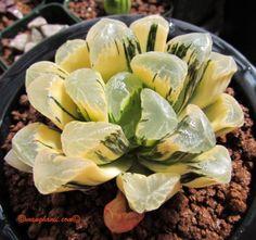 Succulent-Haworthia-maughanii-hybrid-variegate