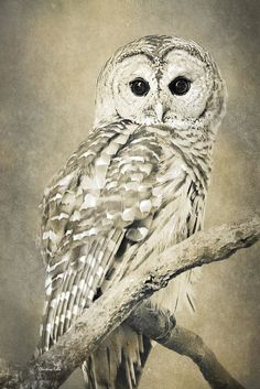 Owl Print featuring the photograph Sepia Owl by Christina Rollo