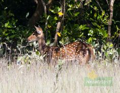 Spotted Deer Sunderban Photo Credit: Nilanjan Patra