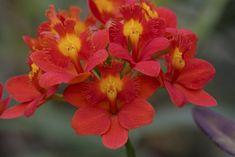 Epidendrum 'Pacific Seniority'
