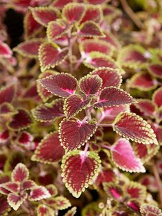 Trailing sun-loving coleus is an easy-to-grow annual foliage plant that adapts… Sun Plants, Foliage Plants, Shade Plants, Green Plants, House Plants, Shade Annuals, Outdoor Plants, Outdoor Gardens, Outdoor Spaces