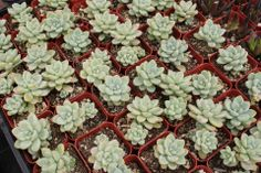 "A variety of 2"" succulents. TheSucculentSource"