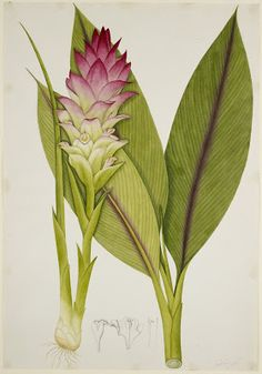 Turmeric - the root is a prized spice and is used for its bright yellow pigment as a dye. Botanical art in the British Library.
