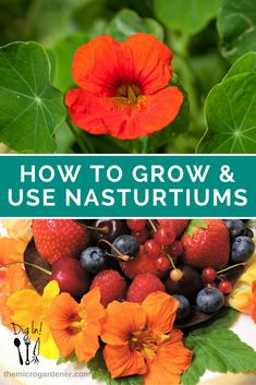 LEARN HOW TO GROW NASTURTIUMS + their many culinary and medicinal uses. Find out how to germinate nasturtium seeds; use & store leaves, buds, seeds and flowers; their health benefits; and easy recipes to get started. Photos, tips & videos. Dig in! | The Micro Gardener