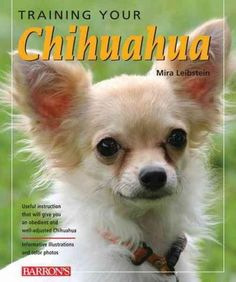 Because the typical Chihuahua is fiercely loyal to its master, this little dog doesn't always get along well with strangers or children. Prospective owners of Chihuahuas are generally advised to inclu