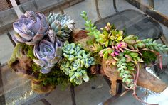 Succulents in Driftwood | Rolling Greens