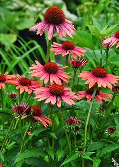 Echinacea 'Sunset': has large, lightly fragrant flowers. Full sun. Height: 50- 75 cm, Spread: 45-50 cm. Does equally well in moist or dry soil. Normal, sandy or clay soils are fine. Remove faded flowers to encourage the plant to continue to bloom all summer. USDA Zones 4-9