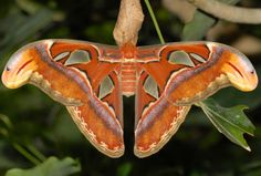 Atlas moth, Attacus atlas    Where? South East Asia.  Habitat Tropical evergreen and deciduous forests, gardens and urban areas.  Science fact The cocoon is hidden in the leaves and secured to a branch with silk so it doesn't fall to the ground. Atlas Moths can spend anything from three months to two years in the cocoon but the adult moths live for only a few days.