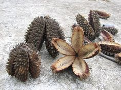 Seed pods of the Crow's Ash, Teak [flindersia australis]