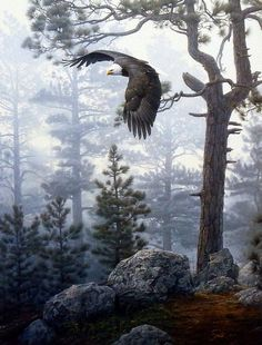 Daniel Smith's print Shrouded Forest is a magnificent image of a soaring bald eagle looking for prey in the foggy mist of the mountainside. Eagles prefer to live in areas with lakes or rivers and surr