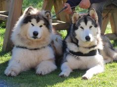 Alaskan Malamute | Razas de Perros Alaskan Malamute-perros-alaskan-malamute.jpg                                                                                                                                                                                 Mais