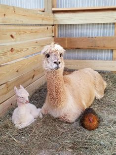 One of the alpacas on my school farm gave birth yesterday. Nugget the chicken is her godmother.