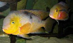 Никарагуанская цихлазома. Hypsophrys nicaraguensis (ранее Cichlasoma nicaraguense). Для содержания пары рыб нужен аквариум от 300 литров, причем чем больше он будет, тем лучше. Любят течение, и чистую воду, так что необходимо использовать мощный внешний фильтр.