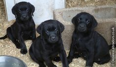 Mind Blowing Facts About Labrador Retrievers And Ideas. Amazing Facts About Labrador Retrievers And Ideas. Puppies For Sale, Cute Puppies, Dogs And Puppies, Doggies, Hound Puppies, Dogs 101, Black Labs, Black Labrador, Homeless Dogs
