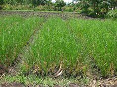 plants of haiti - Google Search