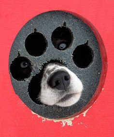 Border Collie - This is so funny! Funny Dogs, Funny Animals, Cute Animals, Chien Springer, Cute Puppies, Dogs And Puppies, Doggies, Adorable Dogs, Baby Dogs