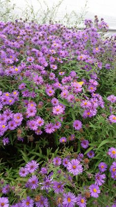 New England Aster (Syphyotrichum novae-angliae) is a tall, clump forming perennial native. This tall (up to 6 feet) aster produces lots of purple flowers in September that may last to November in warm years. Pollinators of all kinds flock to this plant. It will grow in fun sun to full shade, well-drained to heavy soils and works great in mixed prairie plantings or perennial borders.