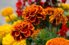 "Tagetes patula or ""Craitele"" in romanian"