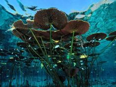 size: Photographic Print: Long-Stemmed Water Lilies Reach for the Hot Mexican Sun by George Grall : Subjects Planta Vascular, Freshwater Plants, Underwater Plants, Historia Natural, Pond Plants, Underwater Photography, Underwater Photos, Nature Animals, Water Garden