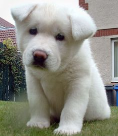 The Akita puppy is a Japanese breed of large dog. Akita puppies are renowned as loyal dogs and are also intelligent. Check out pictures of Akita Inu Puppies. Akita Puppies, Akita Inu Puppy, Cute Puppies, Cute Dogs, Dogs And Puppies, Doggies, Baby Animals, Funny Animals, Cute Animals