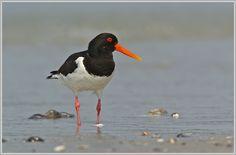 Oystercatcher (Haematopus ostralegus), Helgoland, Dune by Dirk Vorbusch (GDT)