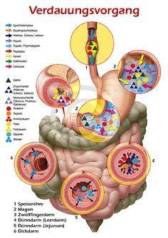 Physiologie-Poster für Biochemie und Pharmazie, Verdauungsvorgang, Verdauung in Magen und Darm