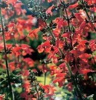 """Salvia ---Lady in Red --Award-winning Salvia has brilliant scarlet trumpets.    Add colorful vertical elements to your bouquets. Initial early summer flush is followed by moderate production through the summer and a strong performance in the fall. Tolerant of extremes in temperature, light, and soil. Ht. 20-24"""""""