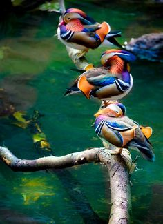 mandarin duck - Can you see why these are one of my favorites?