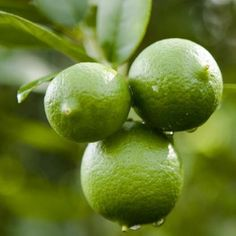 Buy pure Lime oil along with other therapeutic grade essential oils from Bulk Apothecary. We have some of the best prices online for pure Lime essential oil. Essential Oil Distiller, Lime Essential Oil, Pure Essential, Pure Lime, Good Or Well, Mean Green, Citrus Trees, Soap Maker, Thing 1