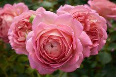 Jubilee Celebration - English Rose
