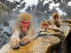Japanese macaques (Macaca fuscata) warm up in a pool of thermal water in the harsh winter in Japan.