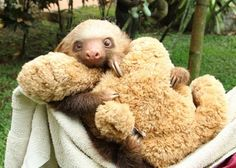 That Sloth Blog. Cute Sloth Pictures, Animal Pictures, Animals For Kids, Baby Animals, Cute Animals, Cute Baby Sloths, Births, Cute Images, Animal Paintings