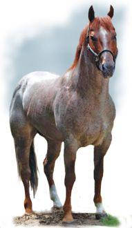 AQHA Red roan stallion Pondie Blue  75% Rowdy Blue Man   46.8% Blue Valentine   14.45% Joe Hancock   9.18% Peter McCue