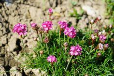 15 sziklakerti növény, mellyel beültetheted a sziklakertet! Plantation, Backyard, Plants, Gardening, Culture, Perennials, Nature, Gardens, Flowers