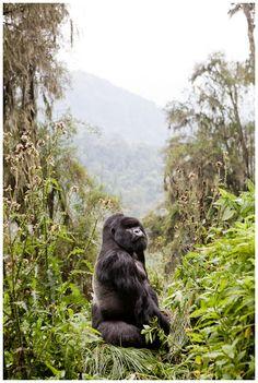 Silverback - Rwanda