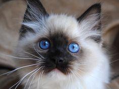 Ragdoll cats and kittens Photo Gallery. Ragdoll cat breeders in Ohio. Ragdoll Cat Breeders, Ragdoll Kittens For Sale, Munchkin Kitten, Baby Kittens, Cats And Kittens, Ragdoll Cats, Fluffy Animals, Cute Animals, Fluffy Pets