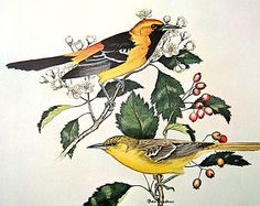 Rex Brasher Print - Large Vintage 1962 Bird Print - Hooded Oriole with Hawthorne Tree and Hooded Oriole with Thorn Tree