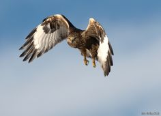 female-rough-legged-hawks-inflight