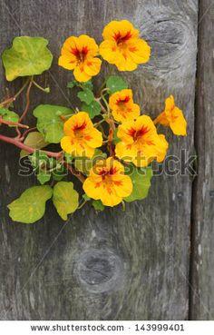 Paintings of Nasturtiums Flowers - Yahoo Image Search Results