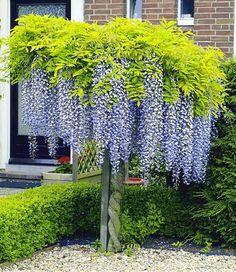 Blauregen auf Stamm Small Gardens, Outdoor Gardens, Amazing Gardens, Beautiful Gardens, Patio Plants, Garden Cottage, Tree Garden, Rain Garden, Diy Garden Projects