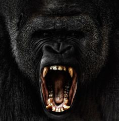 A male silverback gorilla rages at a zoo in America's Midwest. These heartfelt portraits of apes in captivity capture the faces of man's closest relatives as they express rage, pride and sadness. - by Steven Miljavac - Telegraph Primates, Mammals, Nature Animals, Animals And Pets, Cute Animals, Wild Animals, Monkeys Animals, Funny Monkeys, Beautiful Creatures