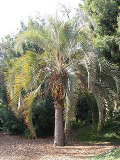 Full Size Picture Of Pindo Palm Wine Jelly Butia Capitata