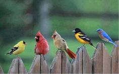 The Real Angry Birds From the left, yellow Finch male, Cardinal male, Cardinal female, Yellow flycatcher male, and Blue Bird.