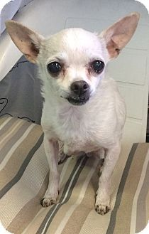 Smiling Chihuahua alert!  Danielle is a senior dog adopted from the Humane Society of New York.