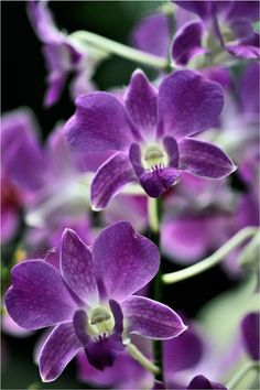 Purple Orchids!