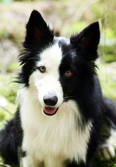 vic7 | Flickr - Photo Sharing! #BorderCollie