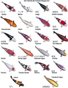 Different varieties and colours for koi fish