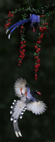 台灣藍鵲.攝於台灣 台北市 外雙溪 Taiwan Blue Magpie, taken at Waishuanghsi, Taipei City, TAIWAN