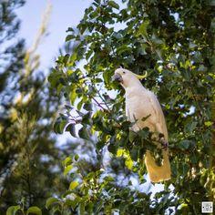 walking around Gungahlin - parrot at Yarrabi Pond  www.pavelvrzala.com  #parrot #bird #tree #Australia #Gungahlin